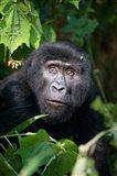 Close-up of a Mountain Gorilla (Gorilla beringei beringei), Bwindi Impenetrable National Park, Uganda