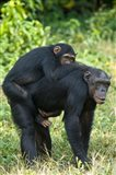 Female chimpanzee (Pan troglodytes) carrying its young one on back, Kibale National Park, Uganda