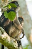 Red Colobus monkey with its young one on a tree, Kibale National Park, Uganda