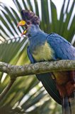 Close-up of a Great Blue Turaco (Corythaeola cristata) Calling, Kibale National Park, Uganda