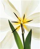 Flower head, Lily