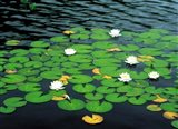 Lily pads with water lily