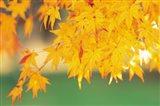 Yellow Maple Leaves, Autumn