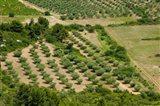 Olive trees in field, Les Baux-de-Provence, Bouches-Du-Rhone, Provence-Alpes-Cote d'Azur, France