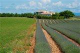 Lavender field, Plateau de Valensole, Alpes-de-Haute-Provence, Provence-Alpes-Cote d'Azur, France