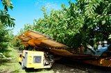 Mechanical Harvester dislodging Cherries into large plastic tub, Provence-Alpes-Cote d'Azur, France