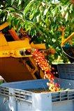 Harvesting Cherries, Cucuron, Vaucluse, Provence-Alpes-Cote d'Azur, France