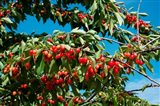 Cherries to be Harvested, Cucuron, Vaucluse, Provence-Alpes-Cote d'Azur, France (horizontal)