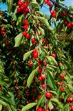 Cherries to be Harvested, Cucuron, Vaucluse, Provence-Alpes-Cote d'Azur, France (vertical)