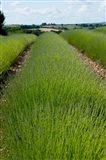Lavender Field, Route de Manosque, Plateau de Valensole, Alpes-de-Haute-Provence, Provence-Alpes-Cote d'Azur, France