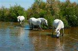 Three Camargue white horses in a lagoon,  Camargue, Saintes-Maries-De-La-Mer, Provence-Alpes-Cote d'Azur, France
