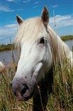 Close up of White Camargue Horse, Camargue, Saintes-Maries-De-La-Mer, Provence-Alpes-Cote d'Azur, France