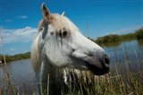 White Camargue Horse with Head over Fence, Camargue, Saintes-Maries-De-La-Mer, Provence-Alpes-Cote d'Azur, France