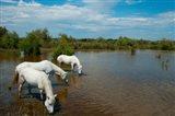 Three white Camargue horses in a lagoon, Camargue, Saintes-Maries-De-La-Mer, Provence-Alpes-Cote d'Azur, France