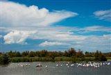 Flamingos in a lake, Parc Ornithologique Du Pont de Gau, D570, Camargue, Bouches-Du-Rhone, Provence-Alpes-Cote d'Azur, France