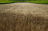 Wheat field surrounded by vineyards, Cucuron, Vaucluse, Provence-Alpes-Cote d'Azur, France