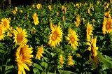 Sunflowers (Helianthus annuus) in a field, Vaugines, Vaucluse, Provence-Alpes-Cote d'Azur, France