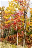 Autumn Trees, Muskoka, Ontario, Canada - your walls, your style!