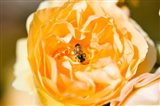 Bee pollinating a yellow rose, Beverly Hills, Los Angeles County, California, USA