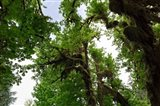 Low angle view of trees in a forest, Hoh Rainforest, Olympic National Park, Washington State, USA