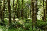 Ferns and Trees, Quinault Rainforest, Olympic National Park, Washington State