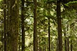 Trees in a forest, Queets Rainforest, Olympic National Park, Washington State, USA