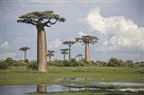 Baobab trees (Adansonia digitata) at the Avenue of the Baobabs, Morondava, Madagascar