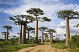 Woman Walking between Baobab Trees, Avenue of the Baobabs, Morondava, Madagascar