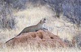 Leopard (Panthera pardus) yawning on a termite mound, Kenya