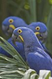 Hyacinth macaws (Anodorhynchus hyacinthinus) perching on a branch, Brazil