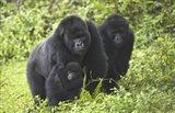 Mountain gorillas (Gorilla beringei beringei) with baby, Rwanda