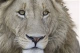 Close-up of a male lion (Panthera leo), Tanzania