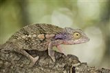 Close-up of a chameleon on a branch, Madagascar