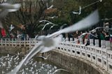 People feeding the gulls in a park, Green Lake Park, Kunming, Yunnan Province, China