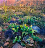 Prickly pear and saguaro cacti, Santa Catalina Mountains, Oro Valley, Arizona, USA