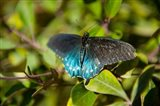 Blue tinted Butterfly on a leaf