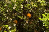 Orange trees in an orchard, Santa Paula, Ventura County, California, USA