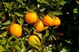 Oranges, Santa Paula, Ventura County, California