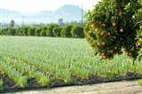 Oranges on a tree with onions crop in the background, California, USA