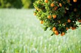 Oranges on a Tree, Santa Paula, California