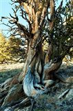 Ancient Bristlecone Pine Forest, White Mountains, California