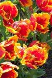 Tulips at Sherwood Gardens, Baltimore, Maryland