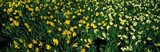 Daffodils in Green Park, City of Westminster, London, England
