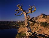 Whitebark Pine tree at lakeside, Merriam Point, Crater Lake National Park, Oregon, USA