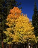 Ponderosa pine with Aspen and Fir trees in autumn, Crater Lake National Park, Oregon, USA
