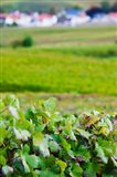 Vineyards in autumn, Chigny-les-Roses, Marne, Champagne-Ardenne, France