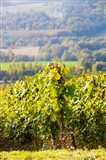 Crops in a vineyard, Chigny-les-Roses, Marne, Champagne-Ardenne, France
