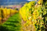 Autumn Vineyards in Mittelbergheim, Alsatian Wine Route, Bas-Rhin, Alsace, France