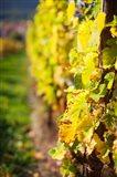 Vineyards in autumn, Mittelbergheim, Alsatian Wine Route, Bas-Rhin, Alsace, France