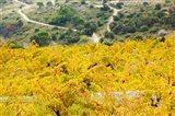 Vineyards, Collioure, Vermillion Coast, Pyrennes-Orientales, Languedoc-Roussillon, France (horizontal)